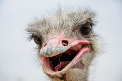 Struisvogel hoofdclose-up Royalty-vrije Stock Foto's