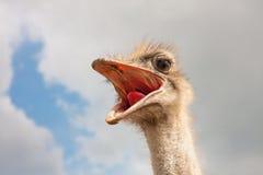 Struisvogel hoofdclose-up Royalty-vrije Stock Afbeelding