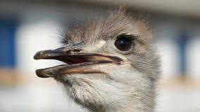 Struisvogel hoofdclose-up Royalty-vrije Stock Fotografie