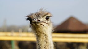 Struisvogel hoofdclose-up Royalty-vrije Stock Afbeeldingen