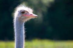 Struisvogel hoofdclose-up in aard Stock Afbeelding