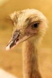 Struisvogel hoofdportret Royalty-vrije Stock Afbeelding