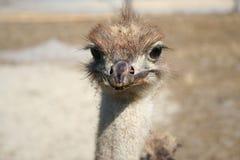 Struisvogel - jonge geitjes royalty-vrije stock foto