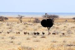 Struisvogel met jongelui - Namibië Afrika royalty-vrije stock foto's