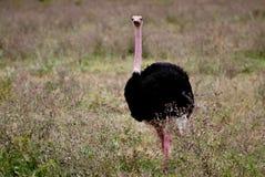Struisvogel in Ngorongoro-Krater royalty-vrije stock foto