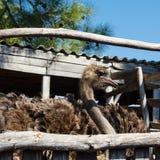 Struisvogel op een landbouwbedrijf Stock Fotografie