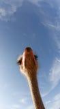 Struisvogel op een landbouwbedrijf 019 Stock Afbeeldingen