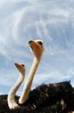 Struisvogel op een landbouwbedrijf 004 Royalty-vrije Stock Foto