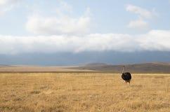 Struisvogel in savana Stock Afbeeldingen