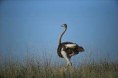Struisvogel in savanne in Namibië Stock Foto's