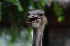 Struisvogel, Struthio-camelus royalty-vrije stock foto