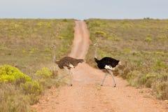 Struisvogel (struthiocamelus) Royalty-vrije Stock Afbeelding