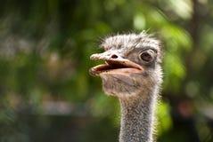 Struisvogel (Thailand) Royalty-vrije Stock Foto's