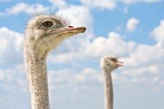 Struisvogel twee hoofden. Stock Afbeelding