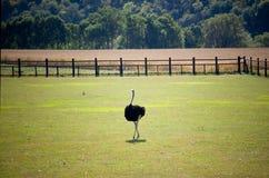 Struisvogel uit op het Landbouwbedrijf Stock Afbeelding