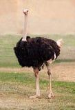 Grote struisvogel Royalty-vrije Stock Foto's