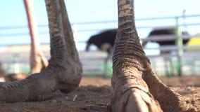Struisvogelbeen, voet op vloer stock video