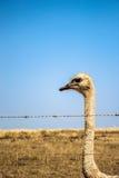 Struisvogelgevangene in prikkeldraad Stock Fotografie