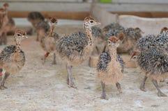 Struisvogelkinderen Stock Foto's