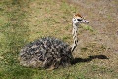 Struisvogelkuiken Royalty-vrije Stock Afbeeldingen