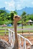 Struisvogellandbouwbedrijf Stock Foto's