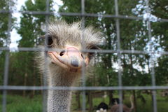 Struisvogellandbouwbedrijf Royalty-vrije Stock Fotografie