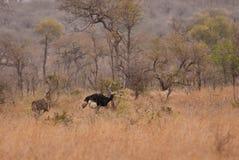Struisvogelpaar in savanne Royalty-vrije Stock Foto