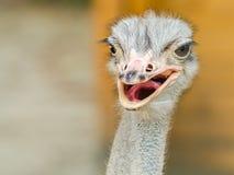 Struisvogelportret Stock Afbeeldingen