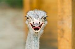 Struisvogelportret Stock Foto