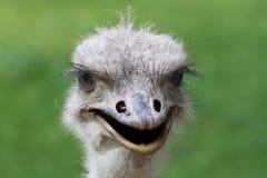 Struisvogelportret Afrika Stock Afbeelding