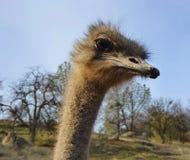 Struisvogelprofiel Stock Fotografie
