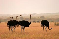 Struisvogels Stock Afbeeldingen