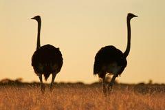 Struisvogels Stock Foto's