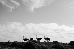 4 struisvogels Stock Foto's