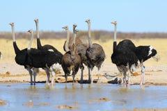 Struisvogels bij waterhole Stock Foto's