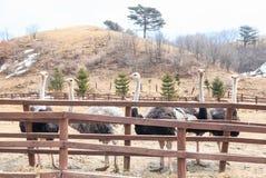 Struisvogels in de paddock Stock Foto's