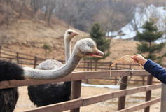 Struisvogels in de paddock Stock Afbeeldingen