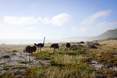 Struisvogels door het Overzees Stock Foto's