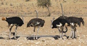 Struisvogels drinkwater bij een waterhole stock footage