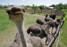 Struisvogels in een landbouwbedrijf Royalty-vrije Stock Fotografie