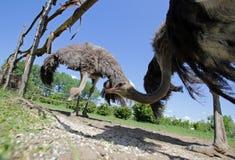 Struisvogels in een landbouwbedrijf Stock Foto