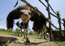 Struisvogels in een landbouwbedrijf Stock Afbeeldingen