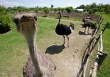 Struisvogels in een landbouwbedrijf Royalty-vrije Stock Foto's