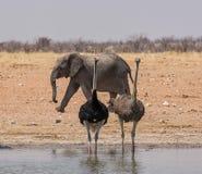 Struisvogels en Olifant Stock Afbeelding