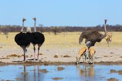 Struisvogels en sprinbok bij waterhole Royalty-vrije Stock Foto