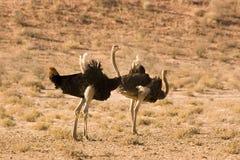 Struisvogels in Kgalagadi Royalty-vrije Stock Afbeeldingen