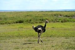 Struisvogels Kilimanjaro Royalty-vrije Stock Afbeeldingen