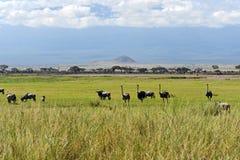Struisvogels Kilimanjaro Stock Afbeeldingen