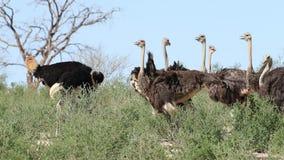 Struisvogels in natuurlijke habitat