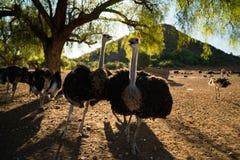 Struisvogels op een landbouwbedrijf Stock Afbeeldingen